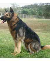 Knuffel levensechte pluche duitse herder zittend 70 cm hond